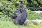 Assato le gorille du zoo de Beauval !