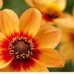 Asteraceae - Dahlia hybrida