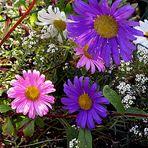 Astern im Garten bei B. in Siegburg