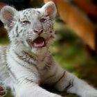 Astrid Hallmann - Kleine Tigerin