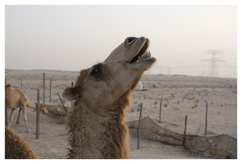 at a camel farm near Dubai