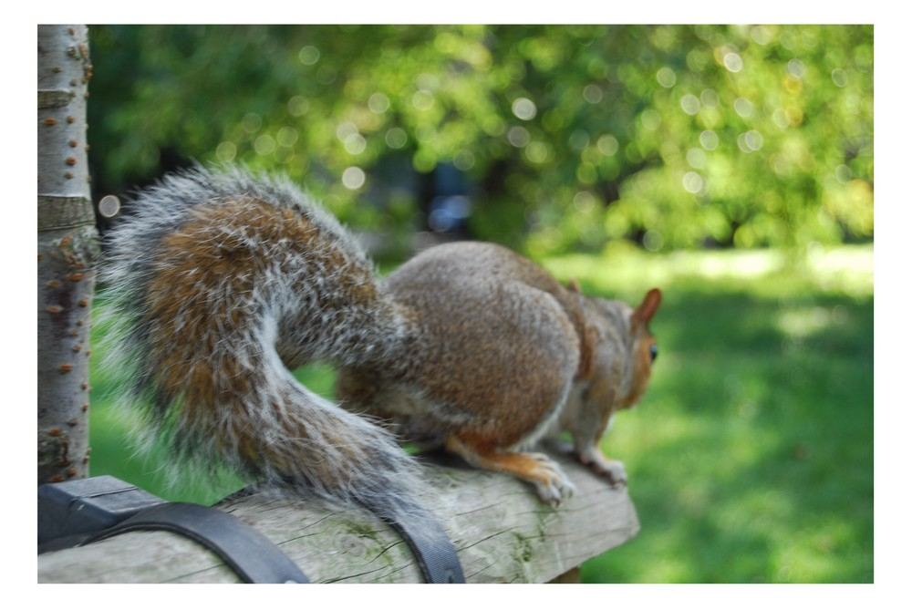 At Green Park/London the squirrels are very friendly :)