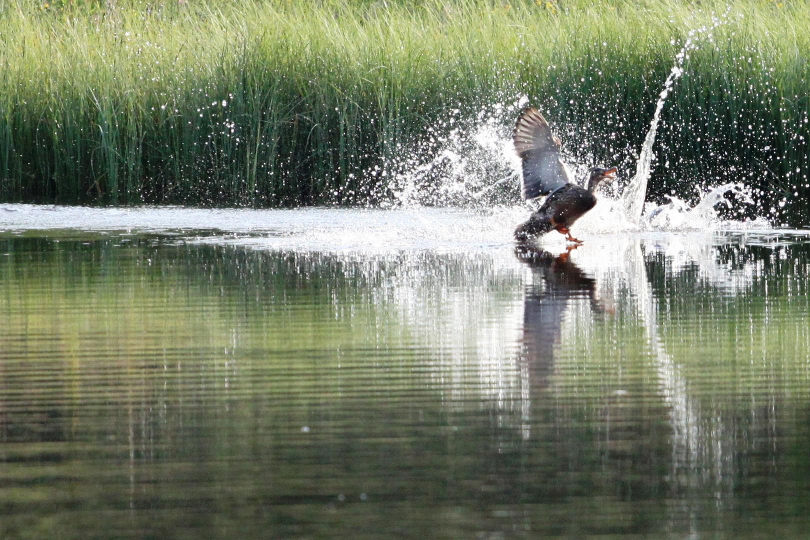Atake im Wasser - Ente zu Hinterzarten