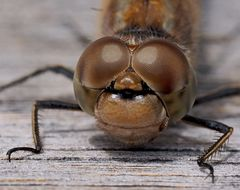 Atemberaubender Augen-Blick mit einer Libelle! - Le doux regard d'une libellule!