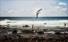 Atlantikmöwen