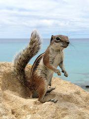 Atlashörnchen am der Costa Calma