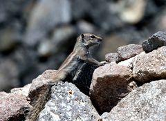 Atlashörnchen auf Fuerteventura 1