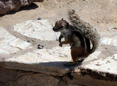 Atlashörnchen auf Fuerteventura