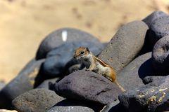 Atlashörnchen - Fuerteventura