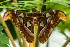 Atlasspinner (Attacus atlas) (1)