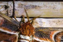 Atlasspinner (Attacus atlas) (2)