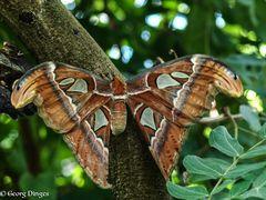 Atlasspinner Attacus atlas  25.10.13