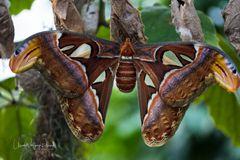 Atlasspinner ( Attacus atlas) 28