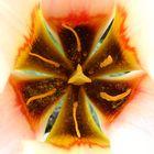 Au coeur d'une tulipe ...(02)