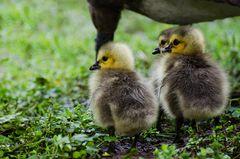 Au printemps des oies bernaches