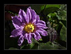 Auberginen - Blüte