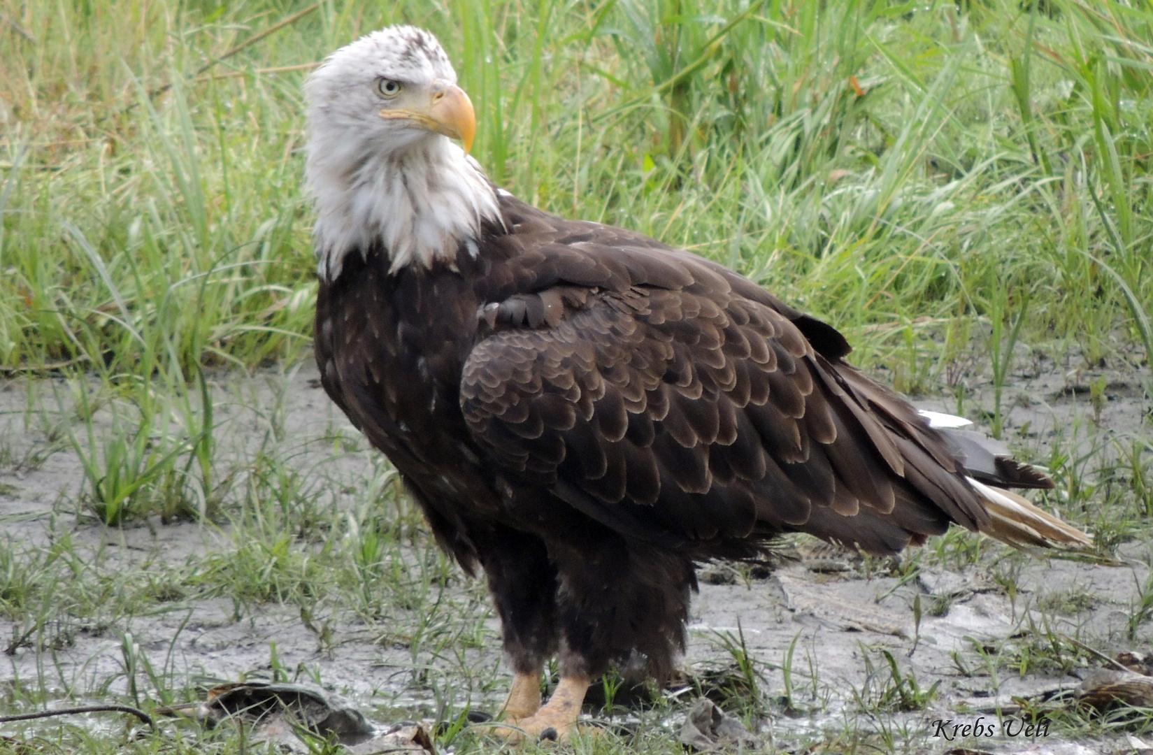 Auch Adler mögen Lachs