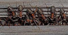 Auch Ameisen betreiben Vogel-Strauß-Politik. - Les fourmis ont l'air de trouver leur bonheur...