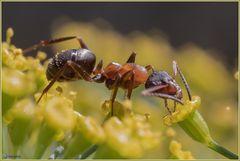 Auch Ameisen lieben Blüten