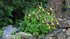 """Auch beim """"großen Frauenschuu"""" vom 29.05. sind nun  alle Blüten weit offen"""