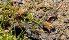 Auch Bienen mögen Wasser...