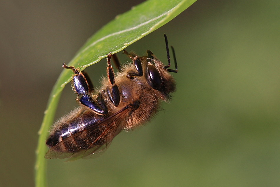 Auch das fleissigste Bienchen...