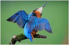 ---- Auch das ist ein Eisvogel --- ( Alecedo atthis )