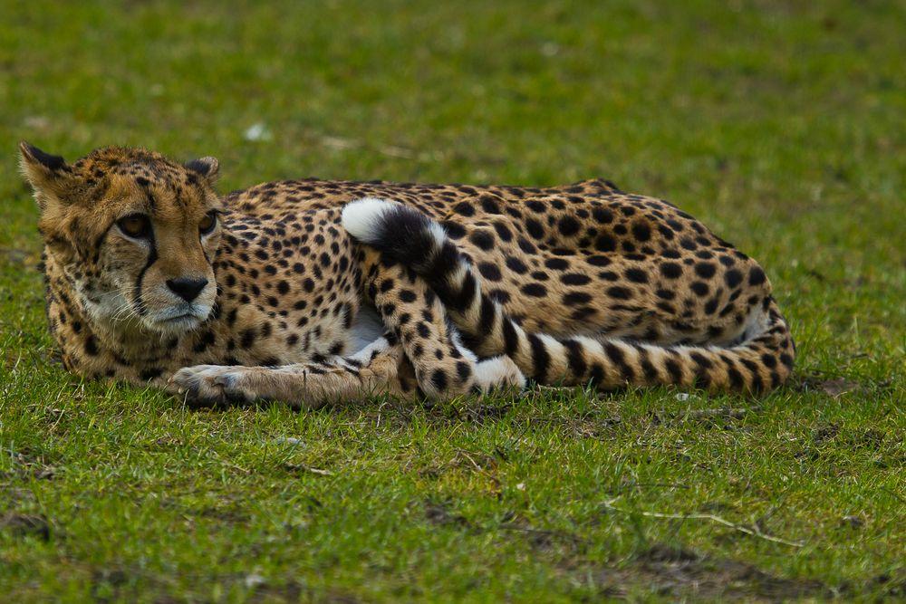 Auch das schnellste Landtiere der Welt...