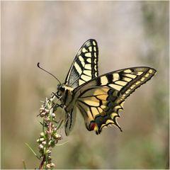Auch den Schmetterlingen...