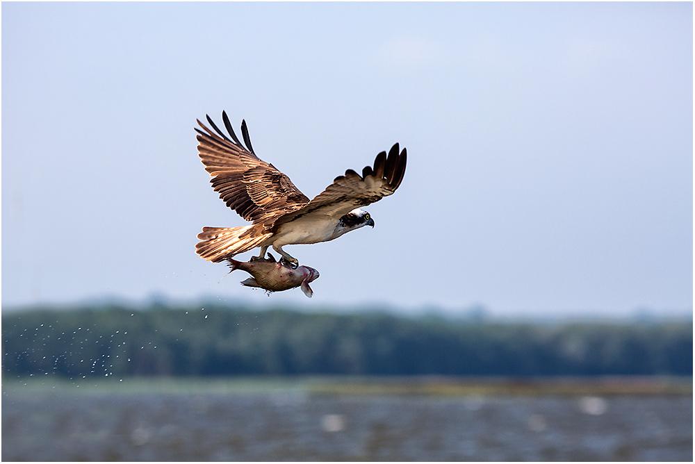 Auch der Fischadler..