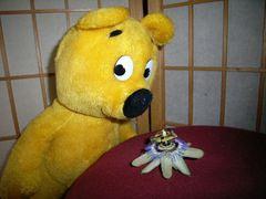 Auch der gelbe Bär mag Passions-Blüten
