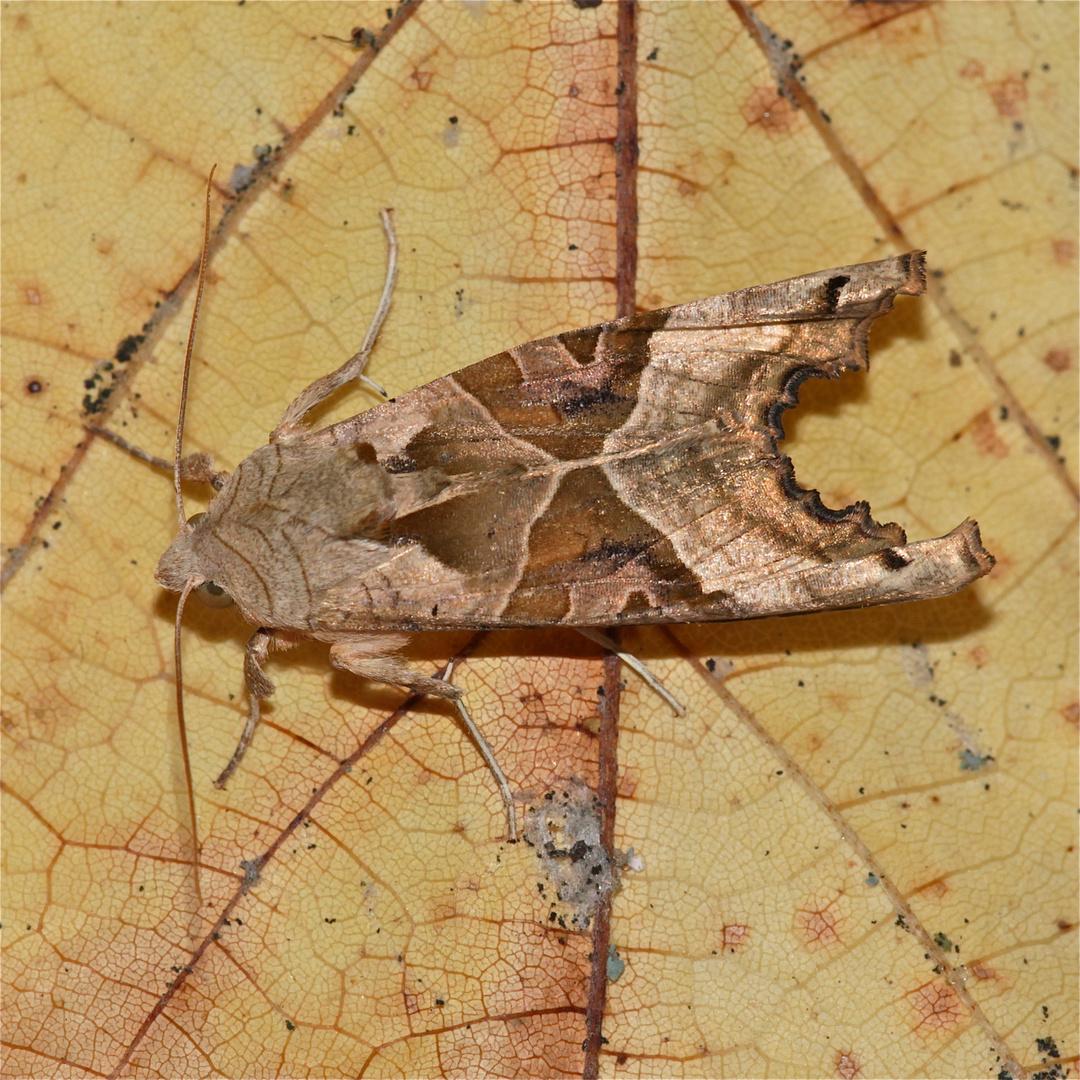 Auch die Achateule (Trigonophora meticulosa) ist ein Wanderfalter!  (Bild 5)
