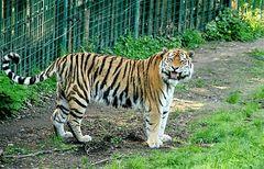 Auch die freundlichen Tiger