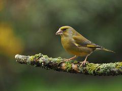 Auch die Grünfinken....