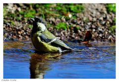+ Auch die Kohlmeise geht im Winter baden ! + ( Parus major )
