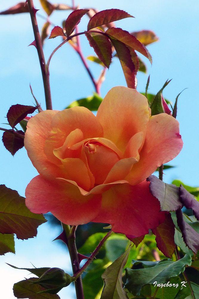 Auch die Rosen blühen nochmals auf