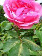 Auch die schönste Rose hat Dornen