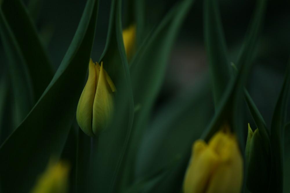 auch die Tulpen melden sich zurück
