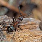 Auch die Waldameise (Formica) ist erwacht! - La fourmi nous annonce le printemps!
