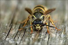 Auch die Wespen suchen fleißig 'Nistmaterial' für ihre Behausung!