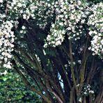 auch dieser Strauch steht noch üppig in seiner Blüte