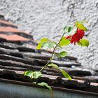 Auch dort wachsen Rosen.