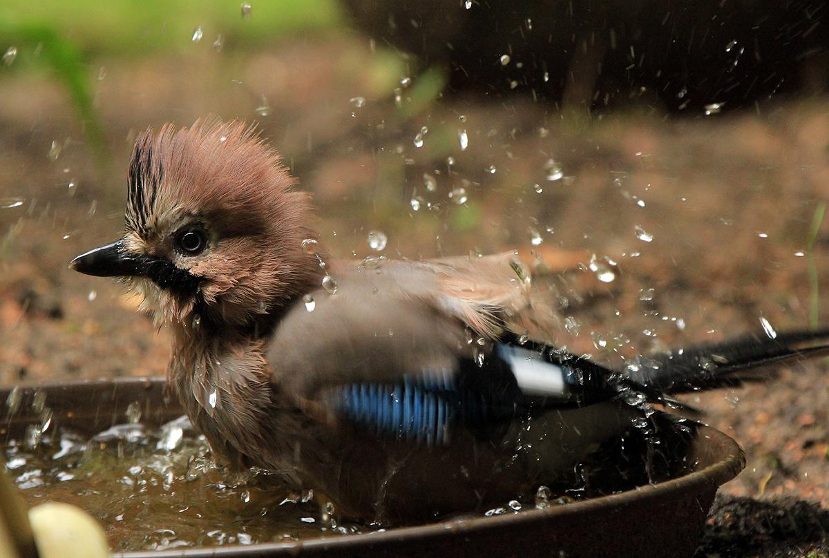 Auch ein Eichelhäher liebt ein Bad.IMG_3547