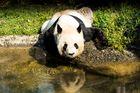 Auch ein Panda hat Durst