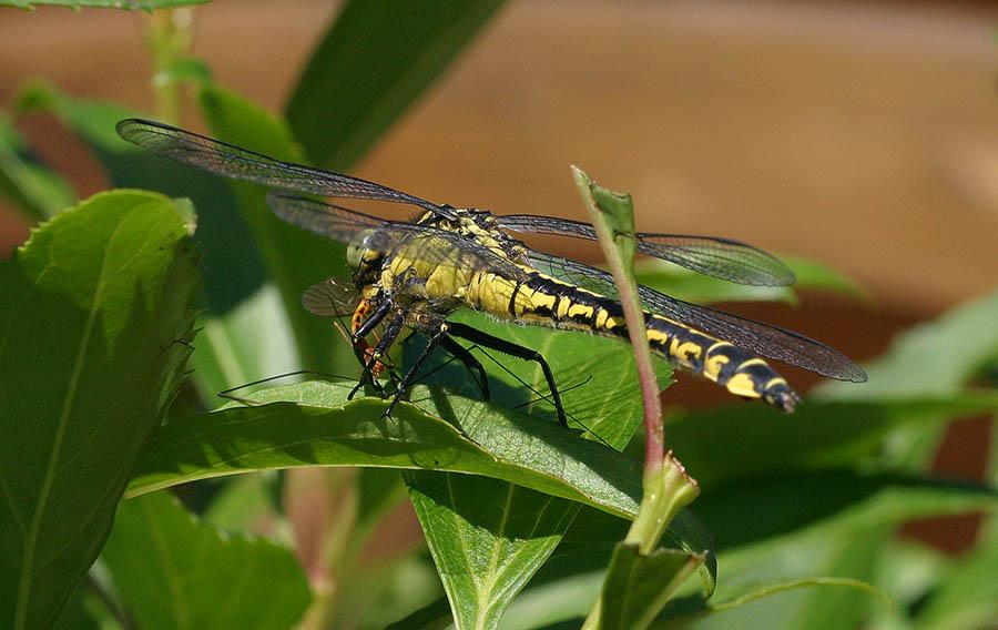 Auch eine Libelle hat Hunger