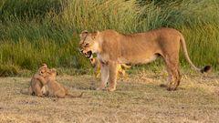 Auch eine Löwenmama...