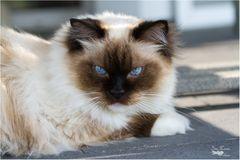 Auch eine schöne Ragdoll Katze