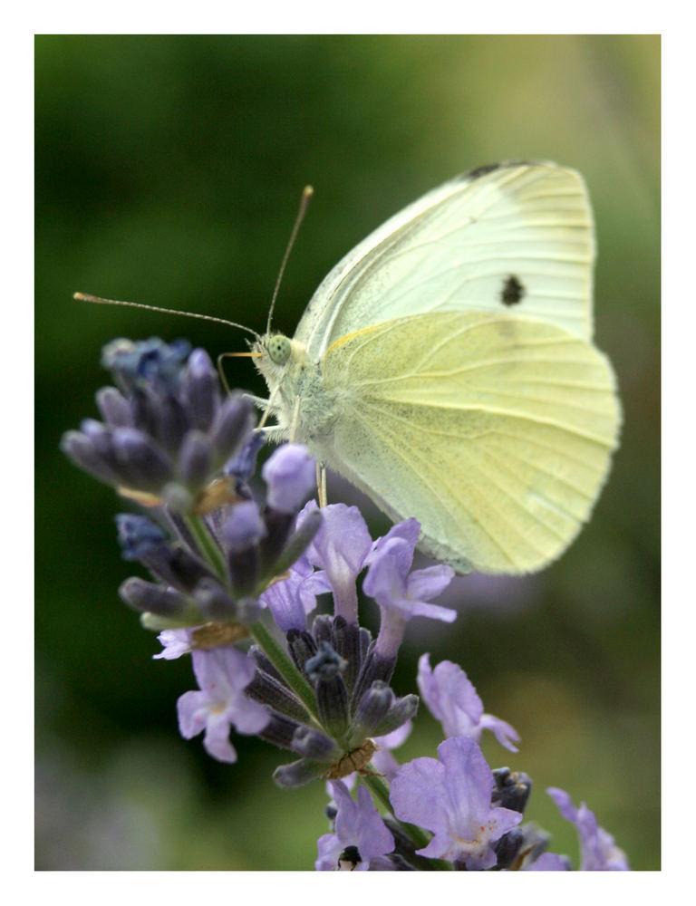 Auch Falter bevorzugen Lavendel.