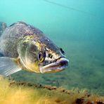 Auch Fische zeigen Zähne