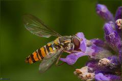 Auch Fliegen lieben Lavendel